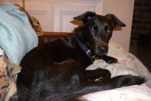 alfie the foster dog